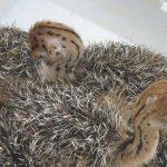 انواع جوجه شترمرغ یک ماهه