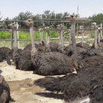 پرورش دهنده شترمرغ پرواری