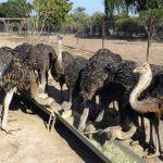 انواع شترمرغ پرواری