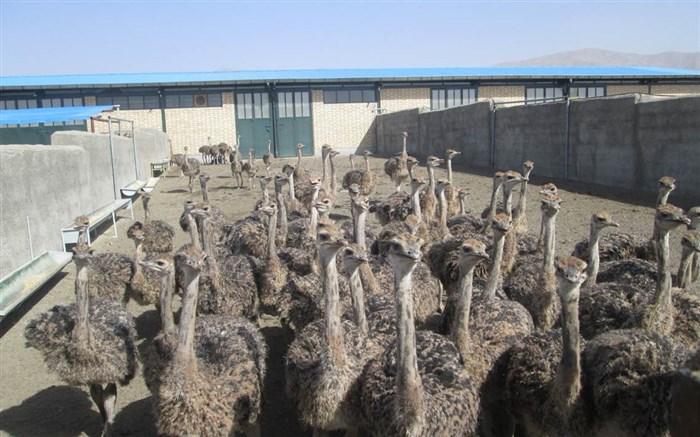 نرخ فروش شترمرغ پرواری